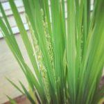 バケツに植えた稲。約2カ月で穂が成りました(о´∀`о)