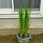 バケツで稲を育ててみる(5)