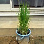 バケツで稲を育ててみる(4)