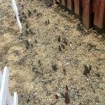 【チューリップ2年目】去年植えた球根に芽が出た!